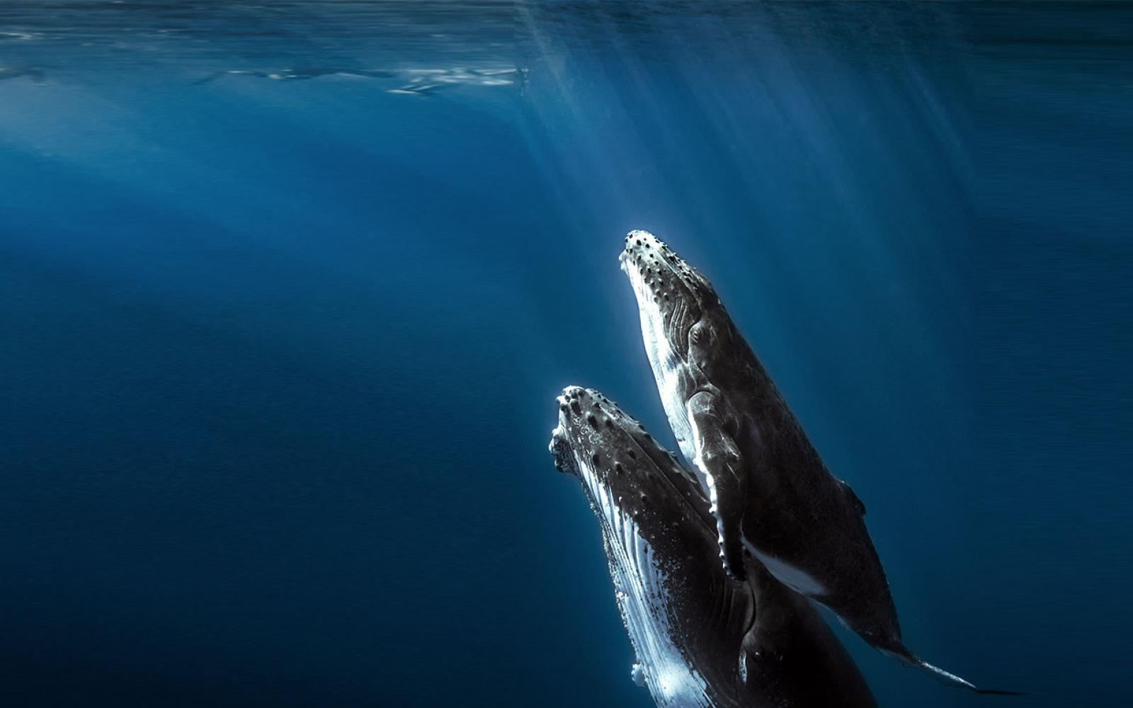 Nature is our only home - Two whales swimming together